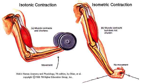 Muscle Contractions | Body KnowlEDGE